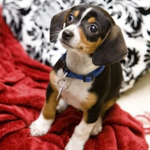 adorable beagle mix puppy