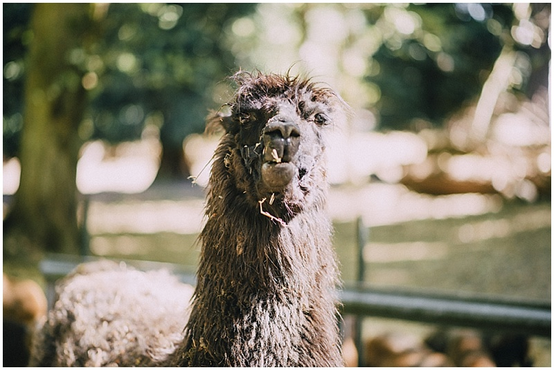 llama wedding photos